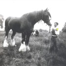 Photo:c. 1955, working horse at West Farm